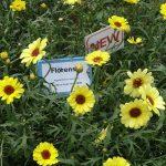 Argyranthemum frutescens MaxiMum 'Bright Yellow'_Florensis_Wojslawice 2016