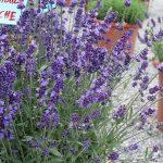 Lavandula angustifolia 'Ardeche'_Florensis_Wojslawice 2016