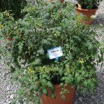Pomidor Balconi Red_Florensis_Wojslawice 2016