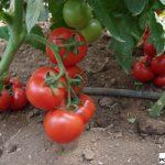 Odmiana pomidora gronowego pod numerem 112-402