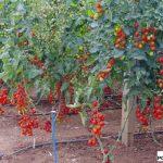 Kolekcja koktajlowych pomidorów
