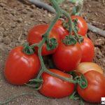 Pomidor śliwkokształtny Millonety F1