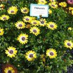 Osteospermum Serenity 'Blue Eyed Beauty_Florensis_Wojslawice 2016