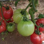 Pomidor malinowy Pink Rock F1