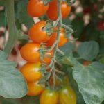 Testowany pomidor o owocach pomarańczowych, śliwkokształtnych