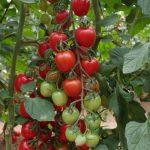 Red Heart F1 - pomidor o owocach w kształcie truskawki