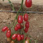 Testowana, nowa odmiana pomidora koktajlowego o malinowych owocach