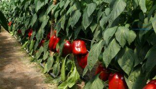 czerwone odmiany papryk