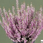 Calluna vulgaris Lisann (Gardengirls®)