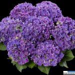 Hydrangea macrophylla 'H213901' CURLY SPARKLE