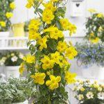 Mandevilla BBYEL Bloom Bells® Yellow