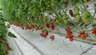 pomidor gronowy Merlice