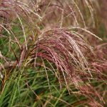 Miscanthus Red Cloud
