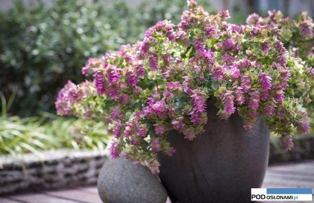 Origanum rotundifolium 'Bellissimo'