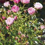 Rosa BLUSH PIXIE Bozbluspix