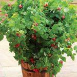 Rubus ideaus RUBY BEAUTY