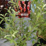 Salix gracilistyla 'Mt Aso' - krzewiasta wierzba, której walorem są różowo-czerwone bazie_Wyroznienie Dziennikarzy_ZIeleń to Życie 2016