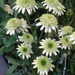 Echinacea 'Honeydew' (szkółka Dąbrowscy)_ZIelen to Zycie 2016