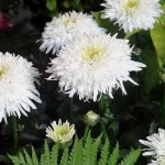 Leucanthemum maximum_FionaCoghill_Zielen to Zycie 2016