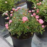 Rosa BLUSH PIXIE_Zielen to Zycie 2016