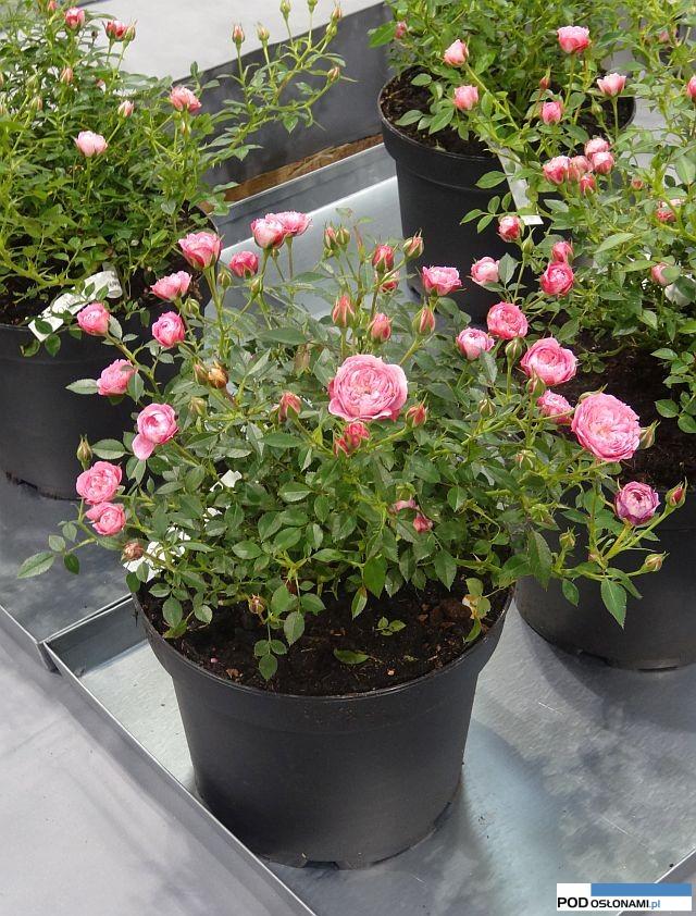 To znowu bursztynowa róża