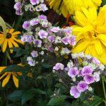 Phlox paniculata Aureole_Zielen to Zycie 2016