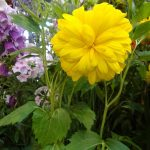 "Rudbeckia laciniata ""Goldquelle' (ze szkółki Szmit)"