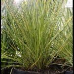Pennisetum alopecuroides PENNSTRIPE (żółto-zielone liście)_Zielen to ZYcie 2016