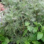 """Artemisia abrotanum - tzw. Cola Bush - jedna z roślin z """"ziołowo-przyprawowego stołu""""_Panek_Zielen to Zycie 2016"""