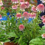 Echinacea 'Butterfly Kisses' - niska odmiana z gospodarstwa Panek_Zielen to ZYcie 2016
