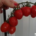 pomidor Redetto RZ F1