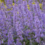 Nepeta grandiflora 'Summer Magic fot. ISU