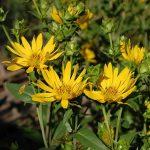 Silphium integrifolium JS® 'Stand Up'
