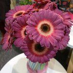 Gerbera 'Purple Wonder' - odmiana mini (z firmy Holstein Flowers)
