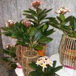 Plumeria - odmiany z grupy Hawaian