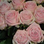 rosa_hera_jan-spek-rozen