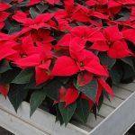 Odmiana Christmas Glory_jenflor_Poinsecjowe Dni Otwarte Selecta one_2016_Swibie