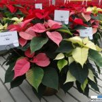 Odmiany Christmas Glory Pink_Noel_Christmas-Glory-White_jenflor_Poinsecjowe Dni OtwartOdmiana Christmas Glory Pink_jenflor_Poinsecjowe Dni Otwarte Selecta one_2016_Swibie