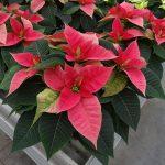 Odmiana Christmas Beauty Pink_jenflor_Poinsecjowe Dni OtwartOdmiana Christmas Glory Pink_jenflor_Poinsecjowe Dni Otwarte Selecta one_2016_Swibie