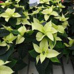 Odmiana Christmas Beauty Lime_jenflor_Poinsecjowe Dni Otwarte_Selecta one_2016_Swibie