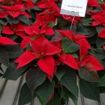 Odmiana Christmas Beauty_jenflor_Poinsecjowe Dni Otwarte_Selecta one_2016_Swibie