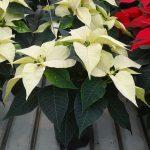 Odmiana Christmas Feelings Pearl_jenflor_Poinsecjowe Dni Otwarte_Selecta one_2016_Swibie