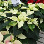 Odmiana Christmas Feelings White_jenflor_Poinsecjowe Dni Otwarte_Selecta one_2016_Swibie