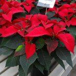 Odmiana Christmas Feelings_jenflor_Poinsecjowe Dni Otwarte_Selecta one_2016_Swibie