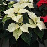 Odmiana Christmas Glory White_jenflor_Poinsecjowe Dni Otwarte Selecta one_2016_Swibie