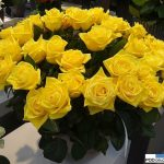 Rosa_First Gold_kordes_IFTF 2016