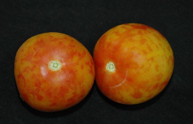 Objawy porażenia przez PepMV na owocach pomidora