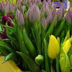 Tulipany 'Purple Prince' (purpurowy), 'Milka' (lila) i 'Strong Gold' ze stoiska firmy Królik_Gardenia 2017