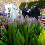 Tulipany_Milka_StrongGold_PurplePrince_firma Krolik_Gardenia 2017_wizyta_Radca Rolny Ambasady Królestwa Niderlandów Martijn Homan