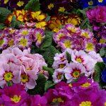 Primula_HethorFinalis_Vitroflora_Gardenia2017